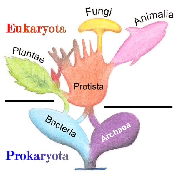 Eukarioottipuu © Wikimedia/Maulucioni y Doridí